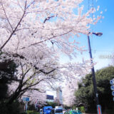 桜満開の「明治神宮外苑」