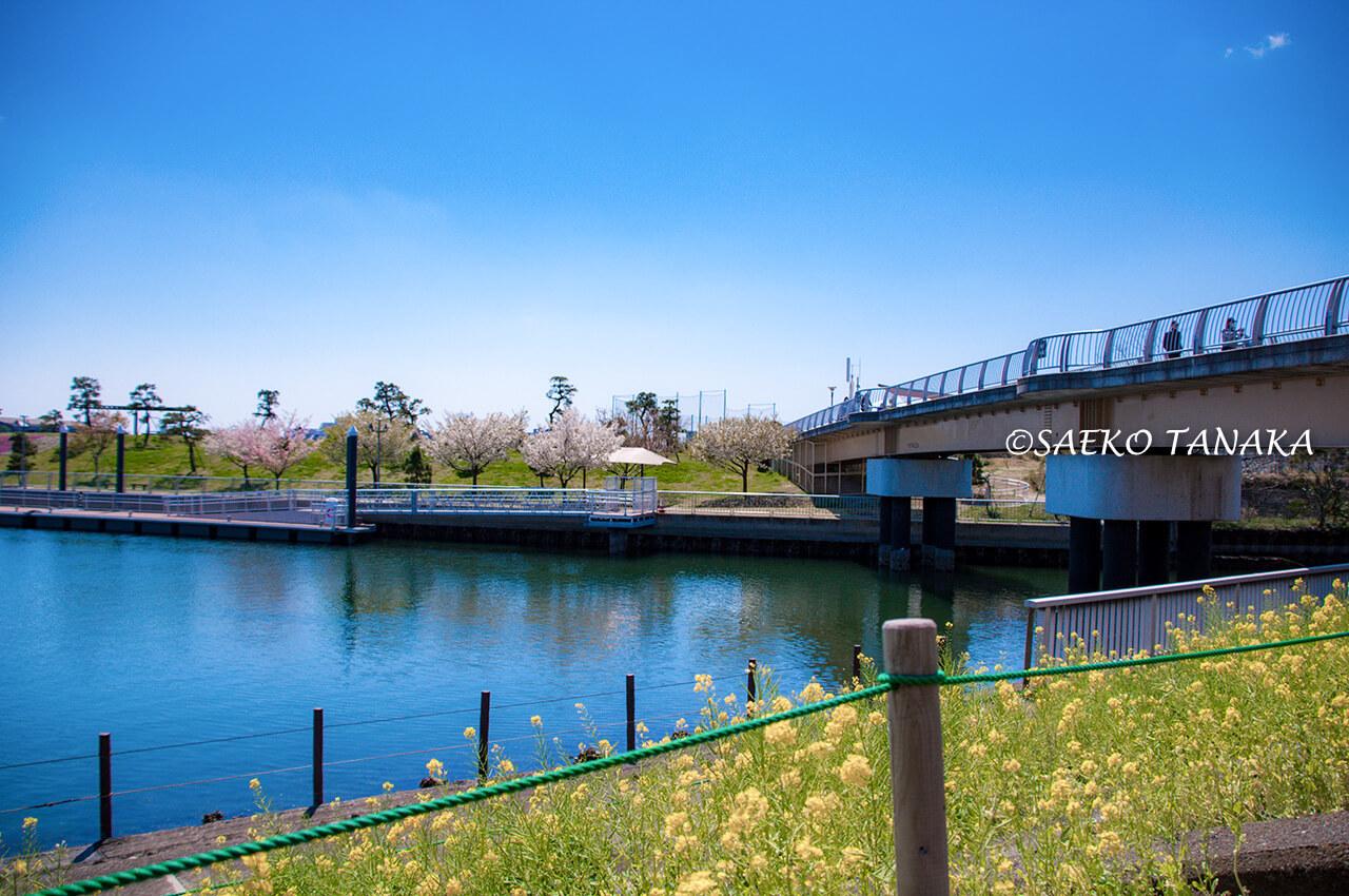 桜と菜の花満開の「大森ふるさとの浜辺公園」