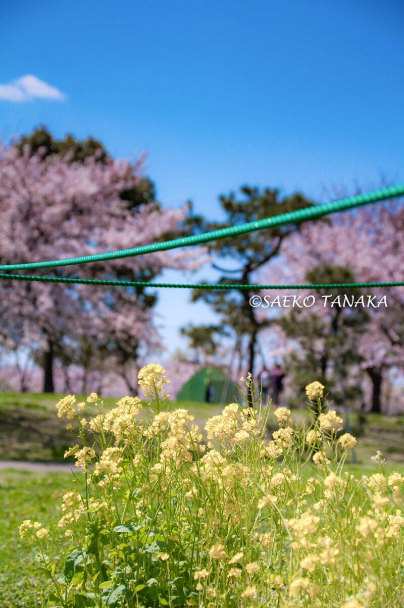 桜と菜の花満開の「大森ふるさとの浜辺公園」と