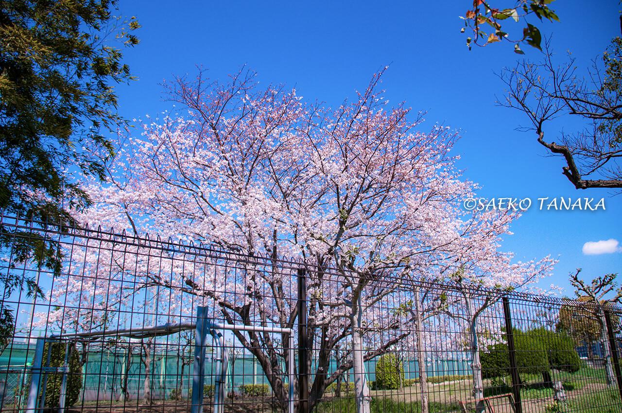 桜満開の「大森ふるさとの浜辺公園」