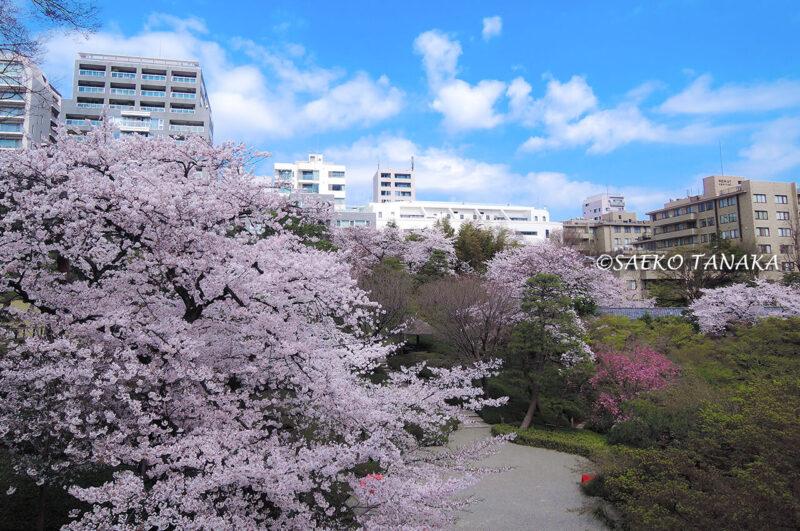 桜満開の「八芳園」