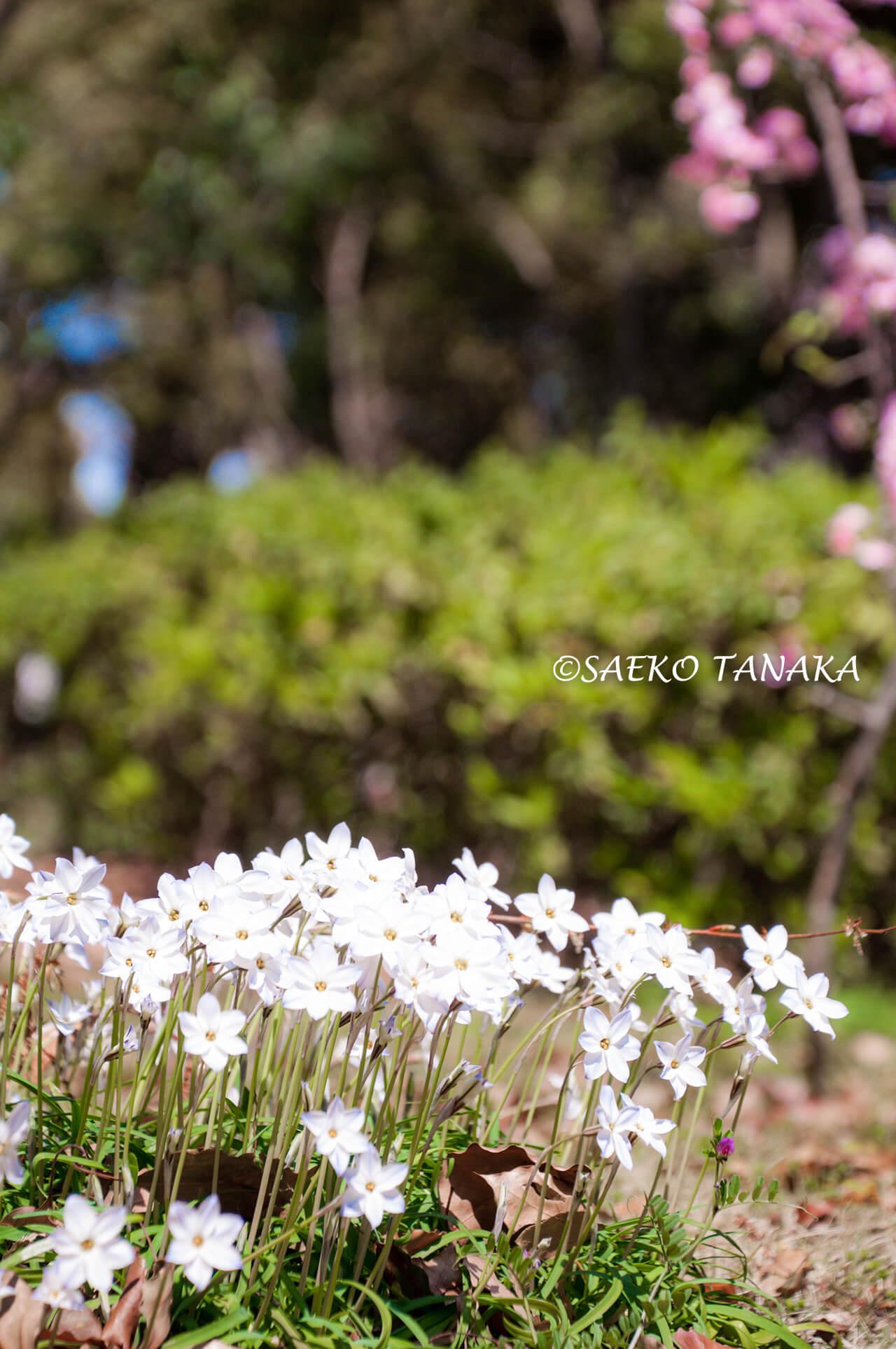 桜満開の「平和の森公園」