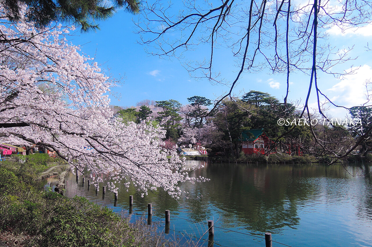 桜満開の「洗足池公園」