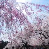 桜満開の「千鳥ヶ淵公園」