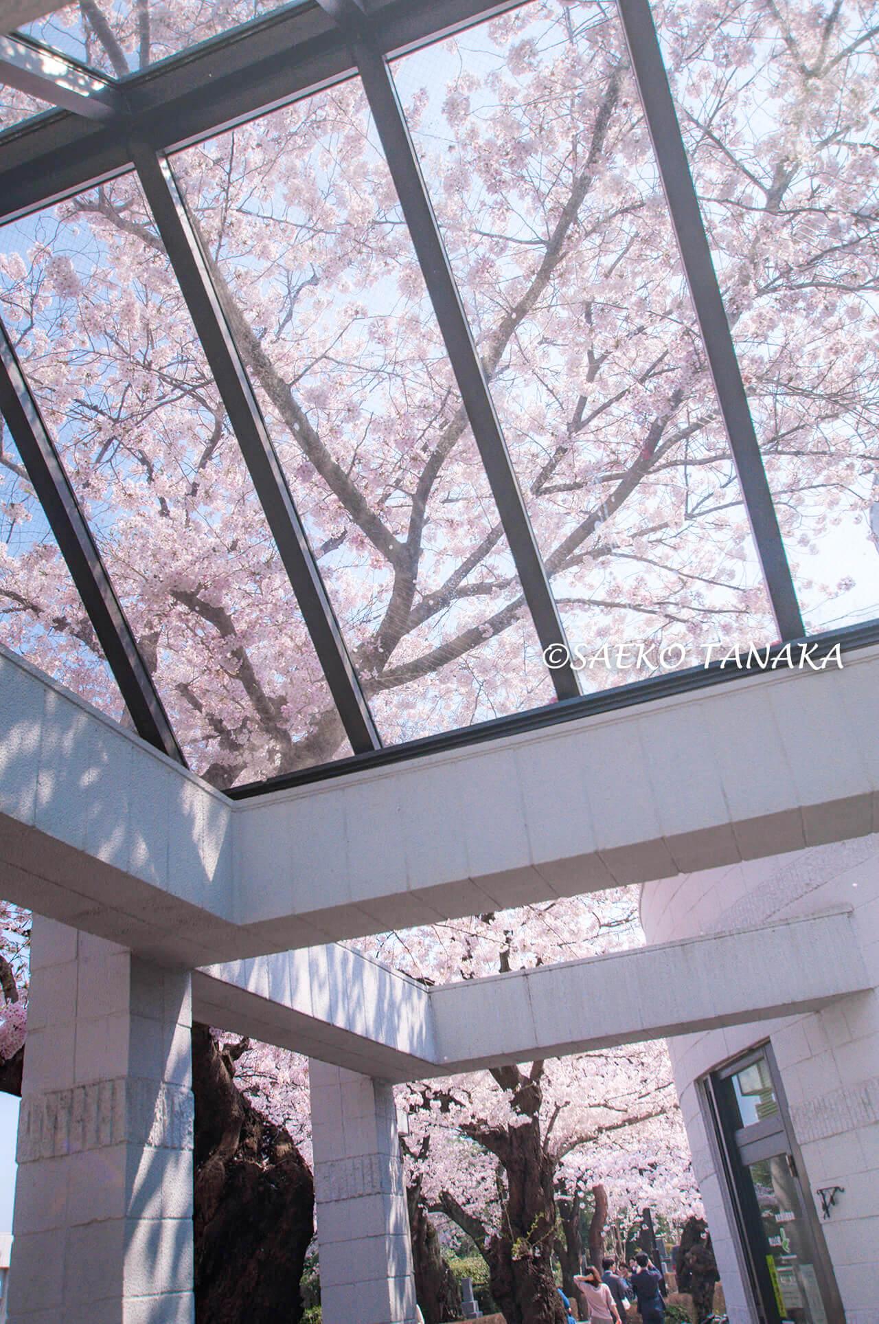 桜満開の「青山霊園」