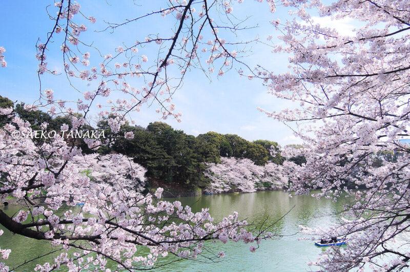 桜満開の「千鳥ヶ淵緑道」