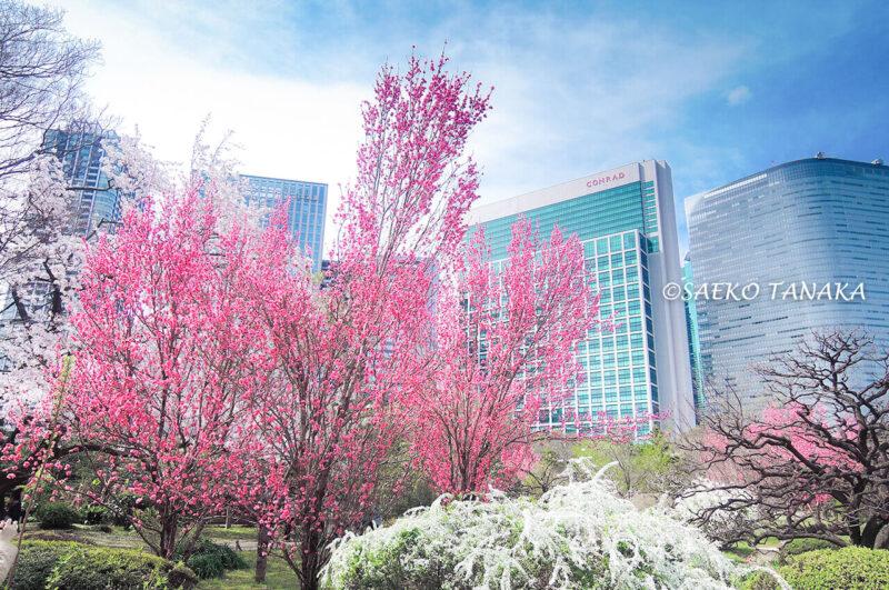 桜満開の「浜離宮恩賜庭園」