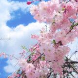 桜満開の「芝公園」