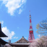 桜満開の「増上寺」と東京タワー
