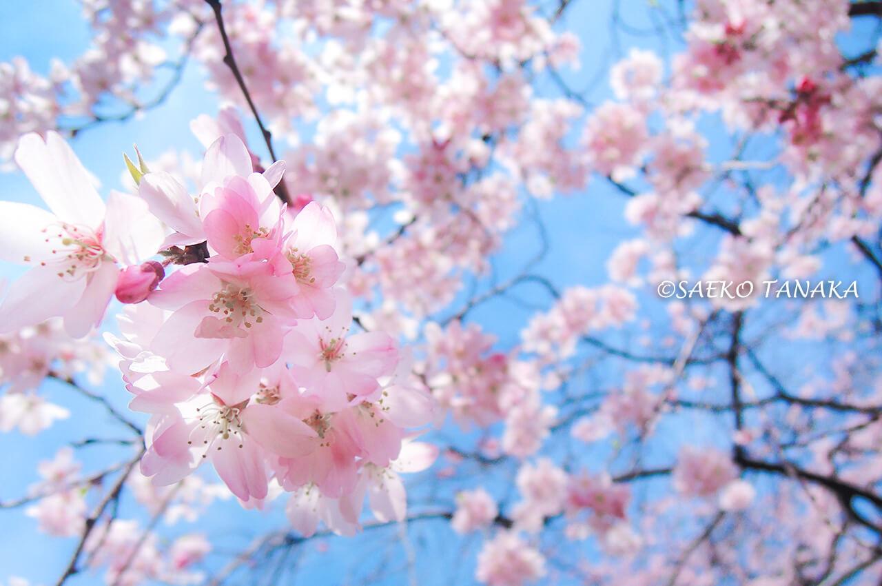 桜満開の「小石川後楽園」