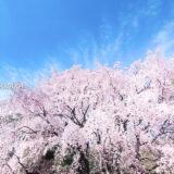 桜満開の「六義園」しだれ桜