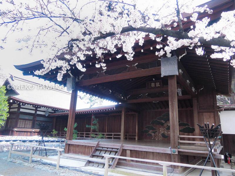 桜満開の「靖国神社」能楽堂