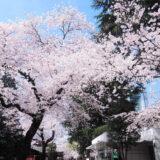 桜満開の「靖国神社」