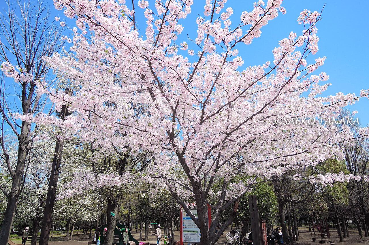 桜満開の「木場公園」