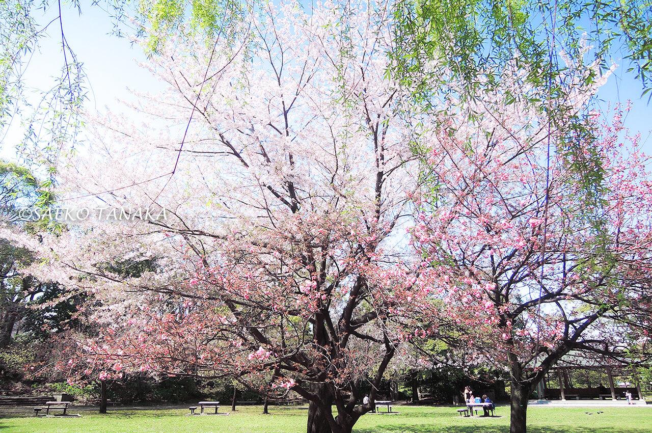 桜満開の「清澄庭園」
