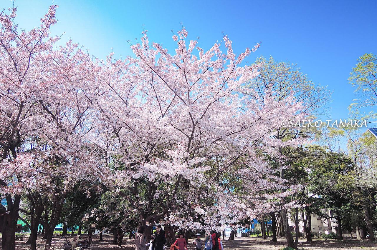 桜満開の「清澄公園」