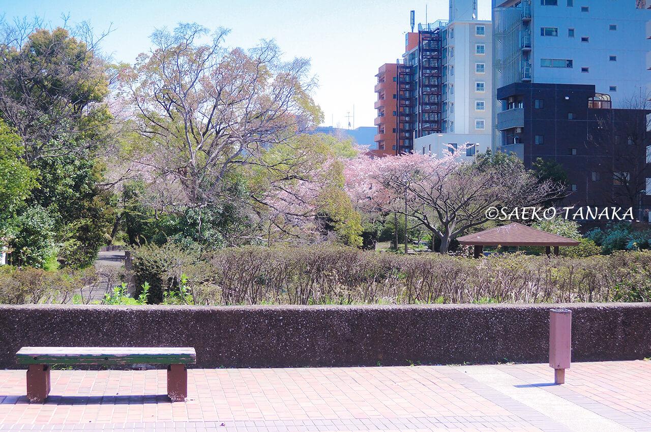 桜満開の「仙台堀川公園」