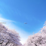 桜満開の「上野恩賜公園」