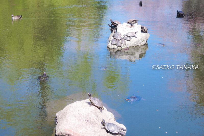 桜満開の「横十間川親水公園」で泳ぐ亀