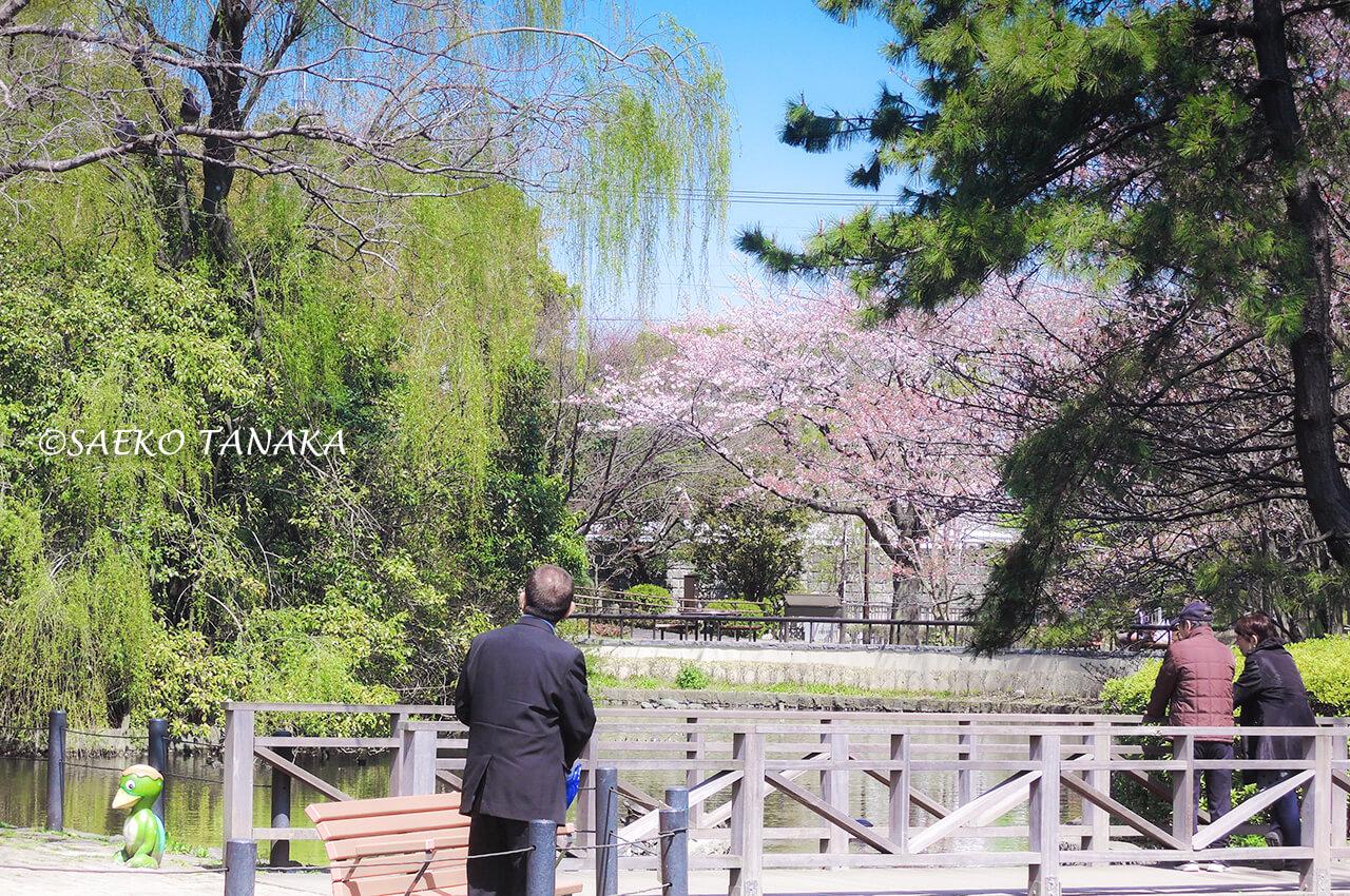 桜満開の「横十間川親水公園」