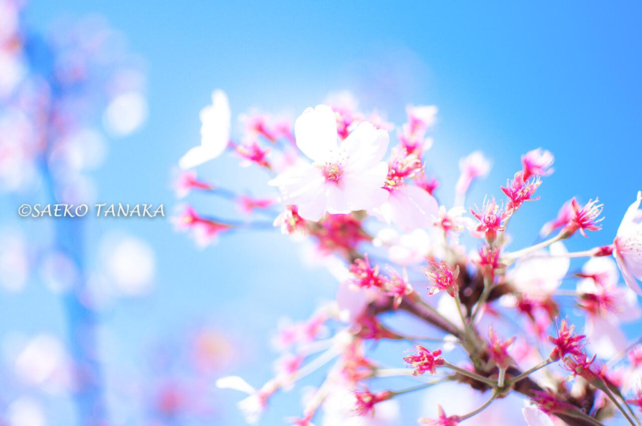桜満開の「ゲートシティ大崎」