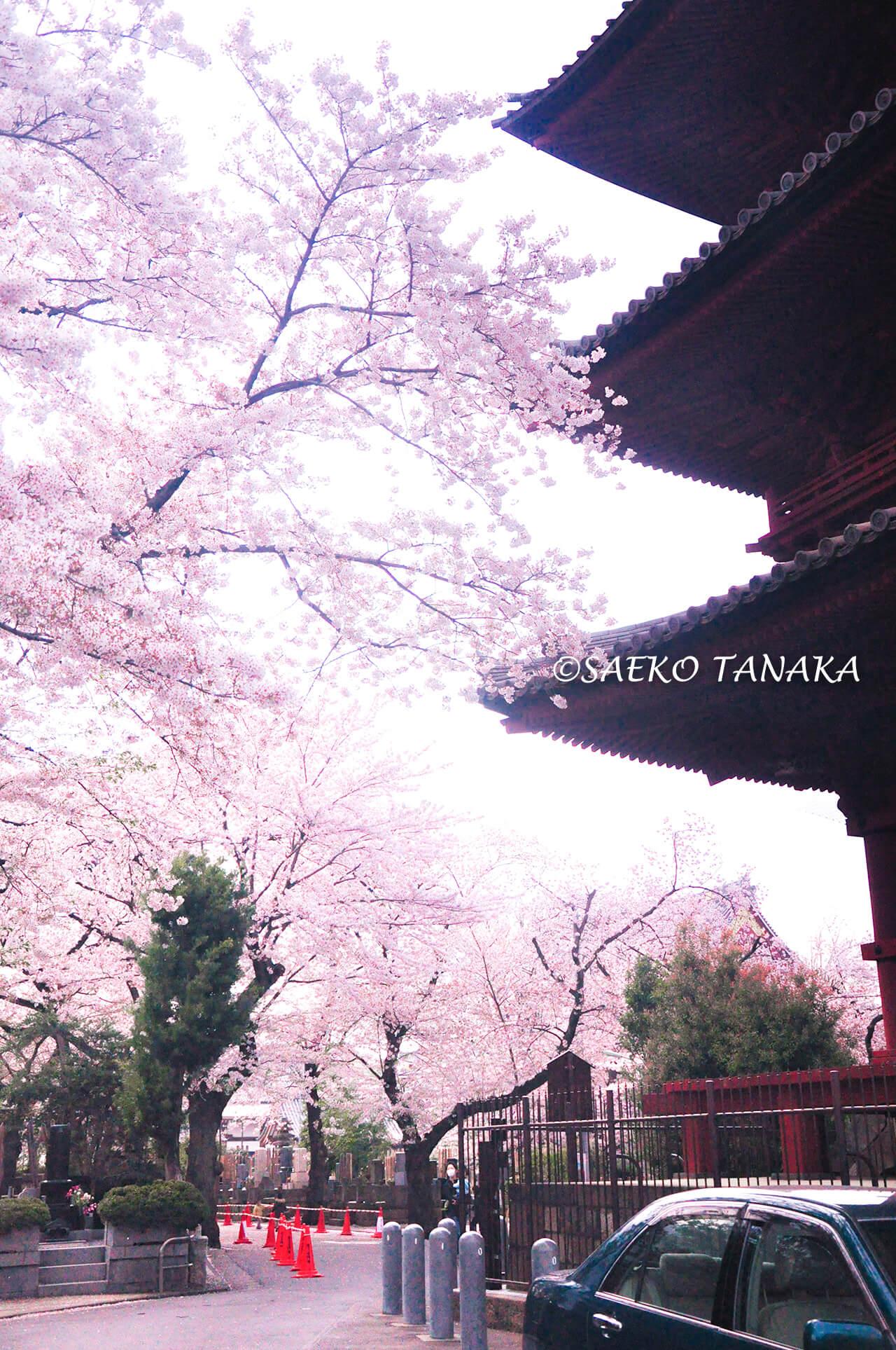 桜満開の「池上本門寺」