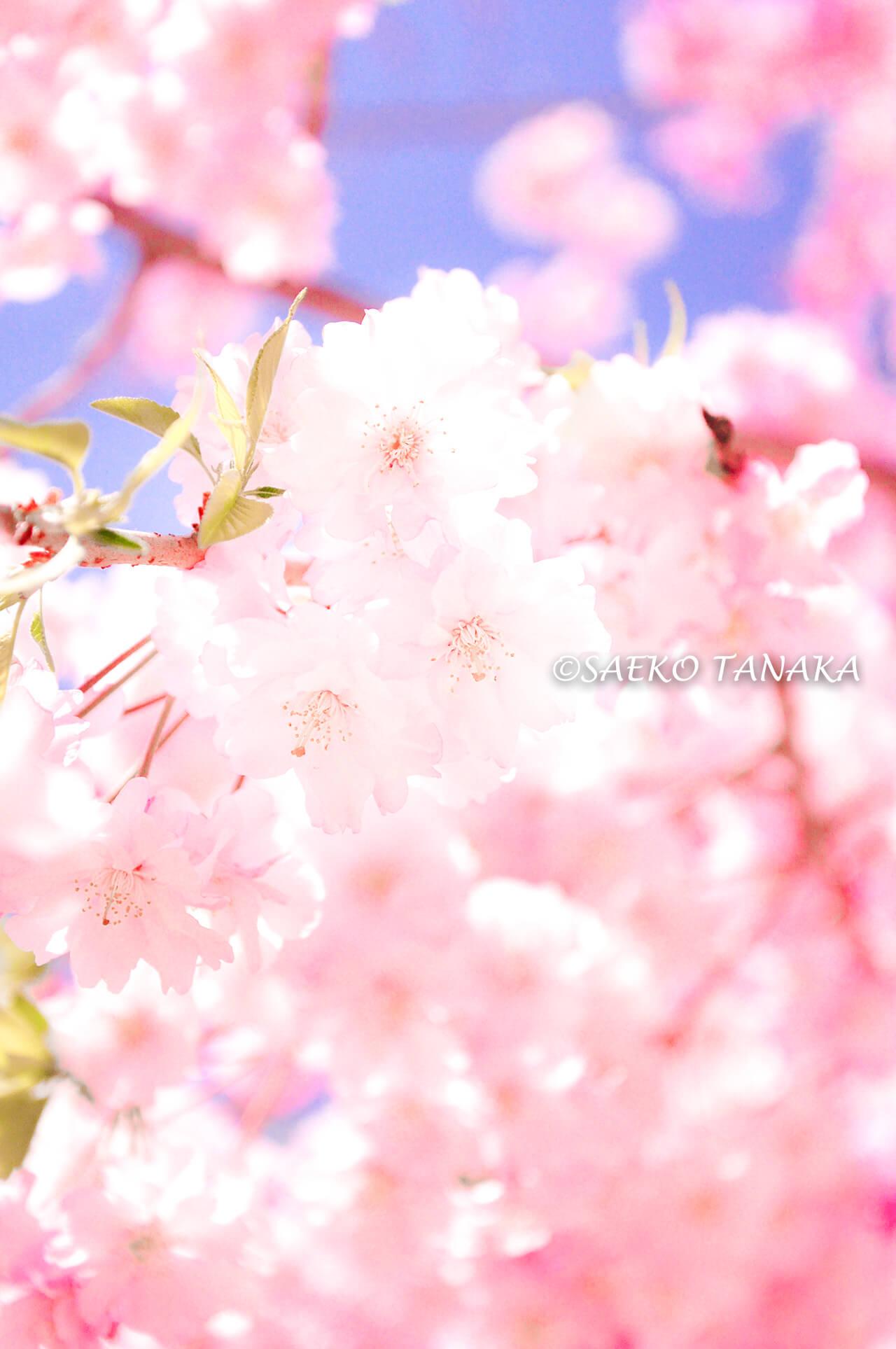 桜満開の「目黒川」