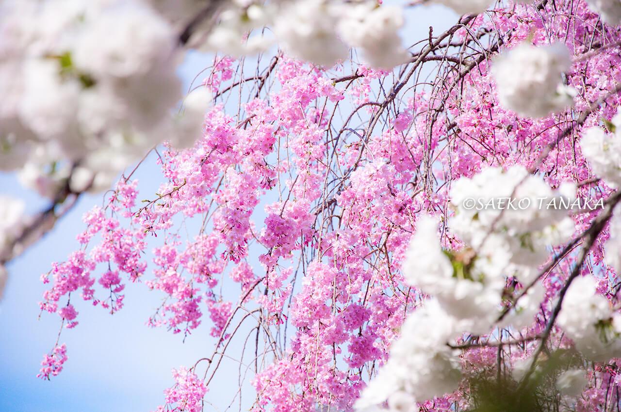 桜満開の「新宿御苑」