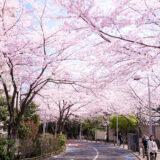 桜満開の「六本木さくら坂」