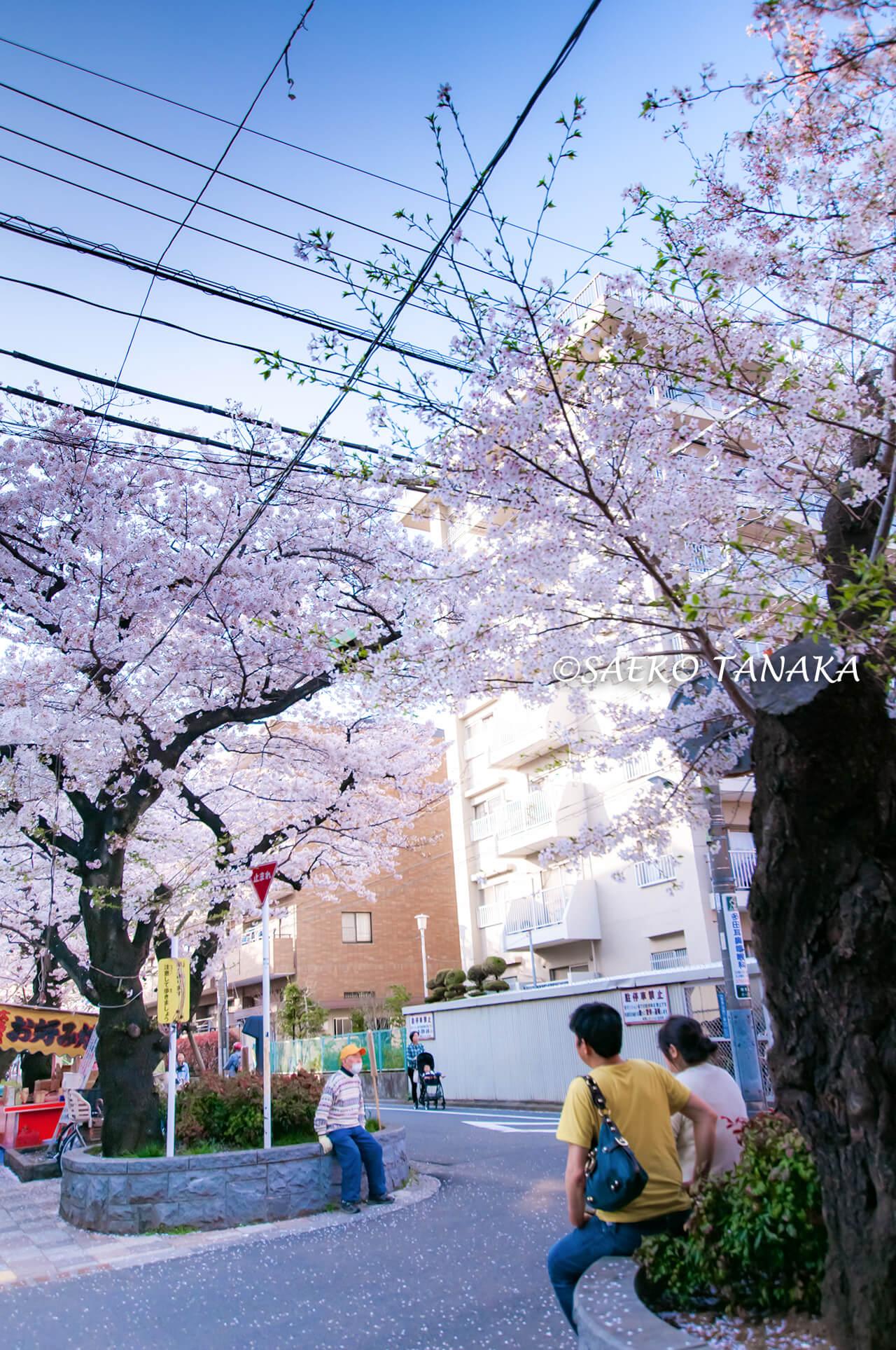 """桜満開の「馬込文士村」の""""馬込の桜並木"""""""
