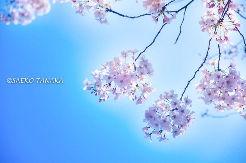 桜満開の青山