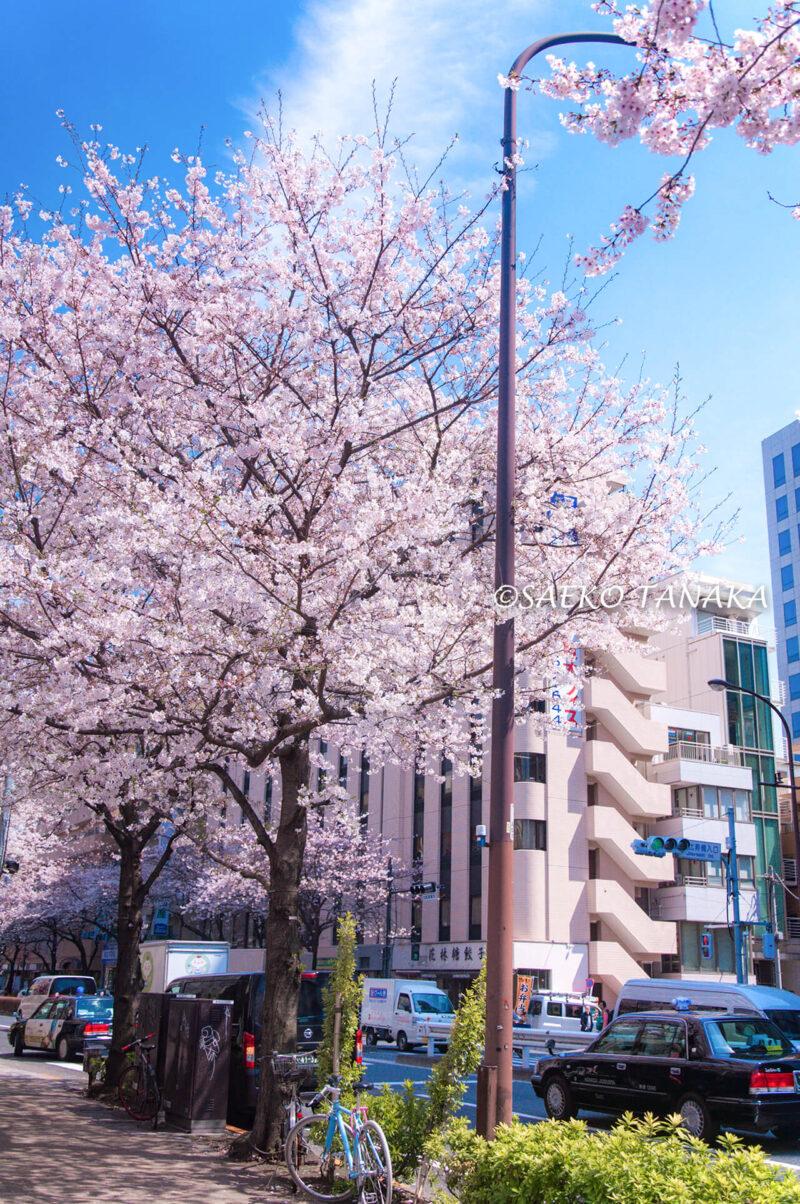桜満開の代官山の街並み