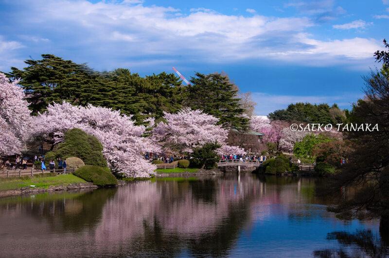 桜満開の「新宿御苑」の写真を使ったLightroom現像実例