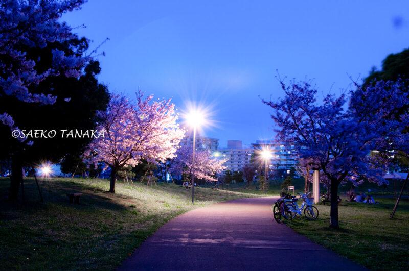 夜桜満開の「大森ふるさとの浜辺公園」の写真を使ったLightroom現像実例