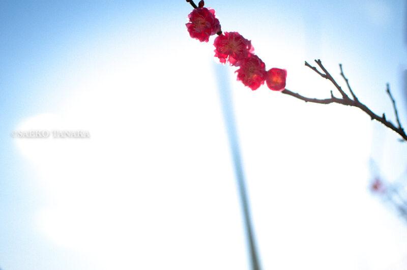 「大森ふるさとの浜辺公園」で見つけた2020年東京の初梅