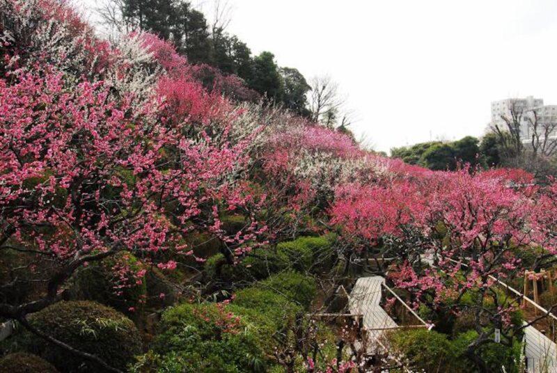 池上梅園の梅