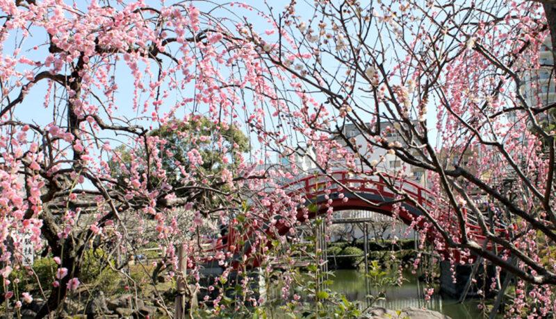 亀戸天神社の梅