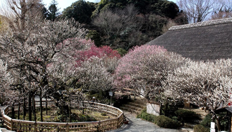 京王百草園の梅