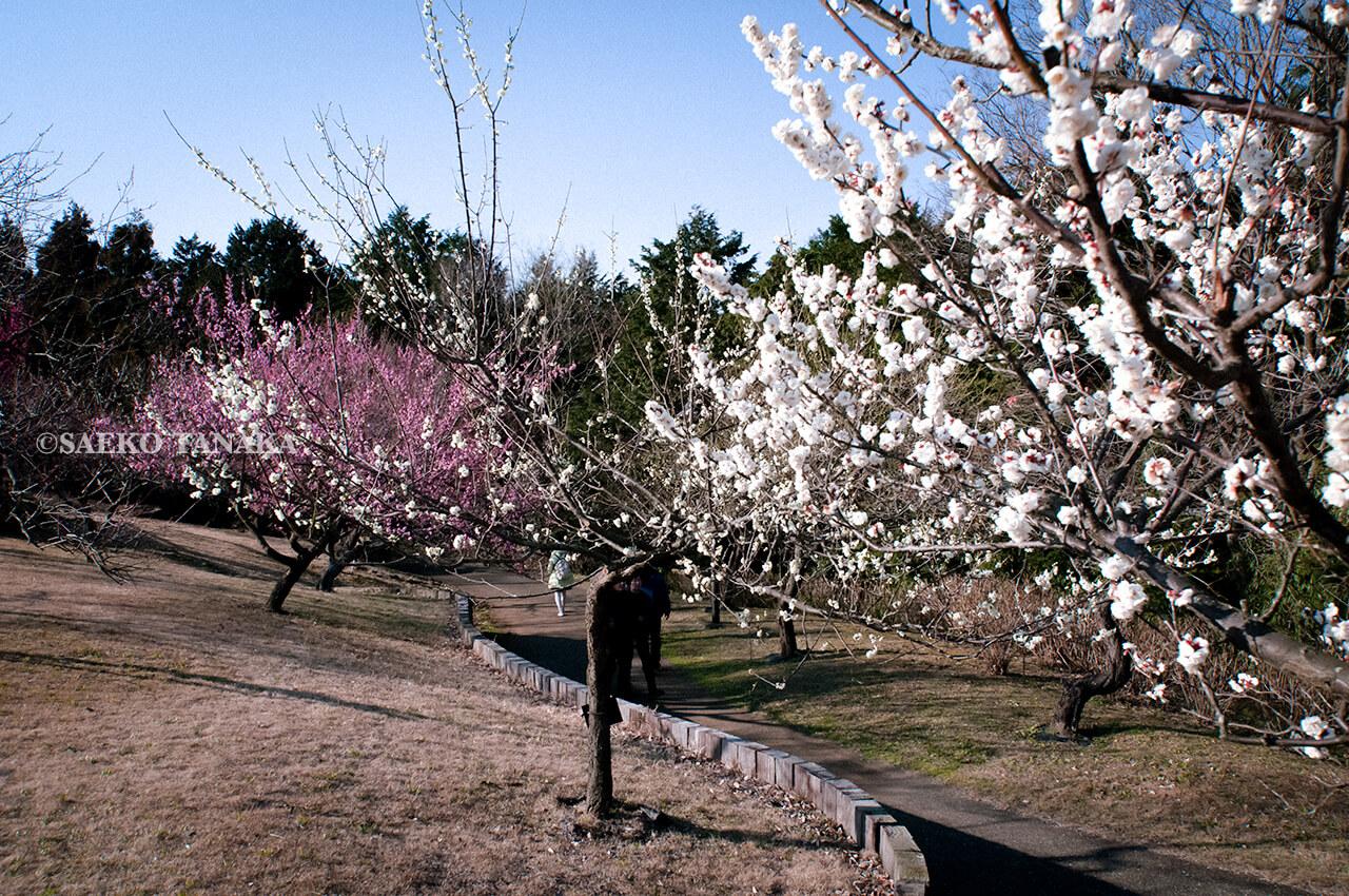 神奈川県小田原市にある「小田原フラワーガーデン」の渓流の梅園で撮影した梅