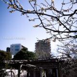 満開の紅梅白梅が楽しめる東京の梅名所のひとつ、向島百花園