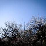 満開の紅梅白梅とともに東京スカイツリーが楽しめる東京の梅名所のひとつ、向島百花園