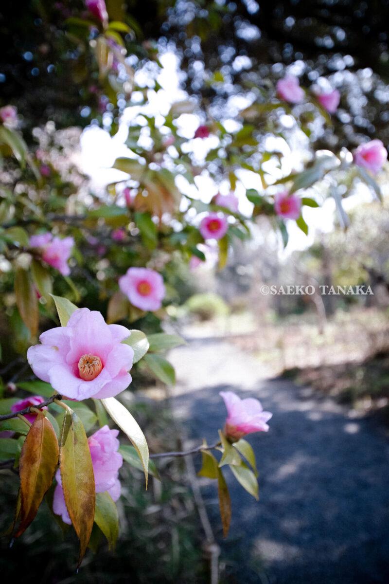 満開の紅梅白梅やツバキ・ハギ・フジ・アヤメなど多くの花が楽しめる東京の梅名所のひとつ、向島百花園
