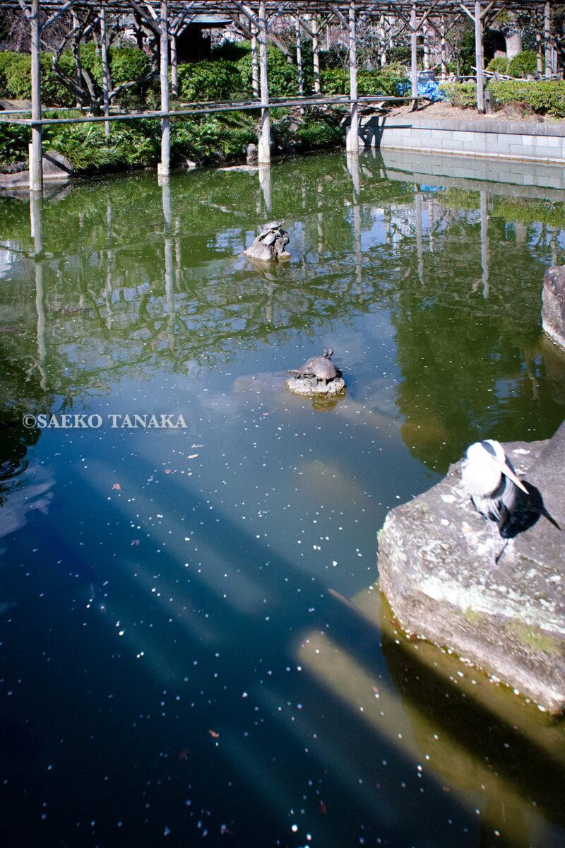 満開の紅梅白梅が楽しめる東京の梅名所、亀戸天神社の亀とアオサギ