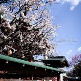満開の紅梅白梅が楽しめる東京の梅名所、亀戸天神社の本殿と絵馬