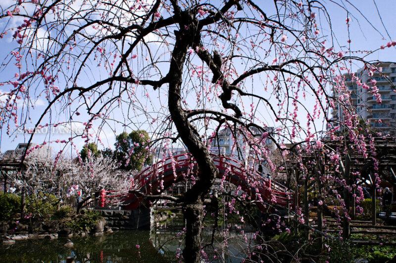 満開の紅梅白梅が楽しめる東京の梅名所、亀戸天神社の朱塗りの太鼓橋