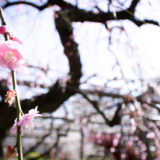 満開の紅梅白梅が楽しめる東京の梅名所、亀戸天神社