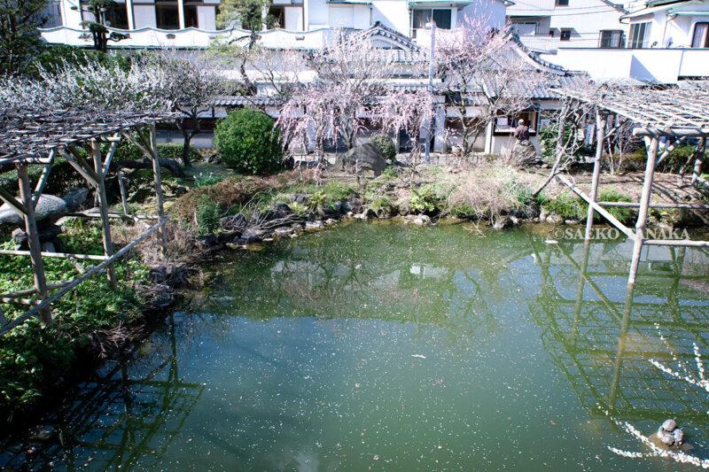 満開の紅梅白梅が楽しめる東京の梅名所、亀戸天神社の梅と藤棚