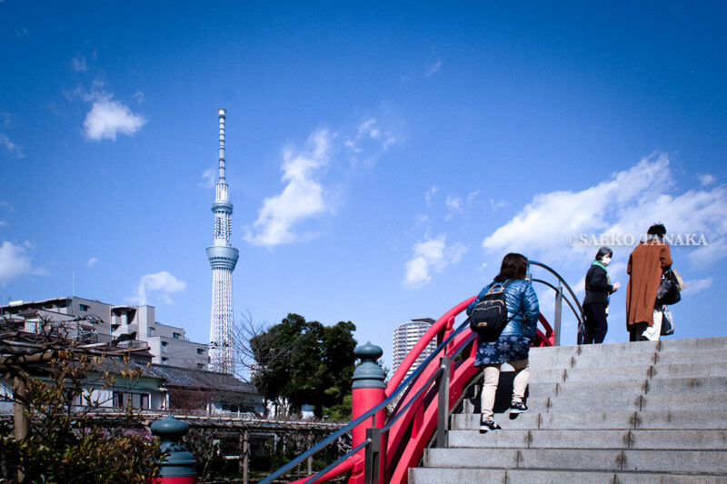 満開の紅梅白梅が楽しめる東京の梅名所、亀戸天神社の朱塗りの太鼓橋と東京スカイツリー