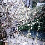 満開の紅梅白梅が楽しめる東京の梅名所、湯島天神/湯島天満宮に続く参道にある階段と梅