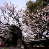 満開の紅梅白梅が楽しめる東京の梅名所、湯島天神/湯島天満宮の狛犬と梅